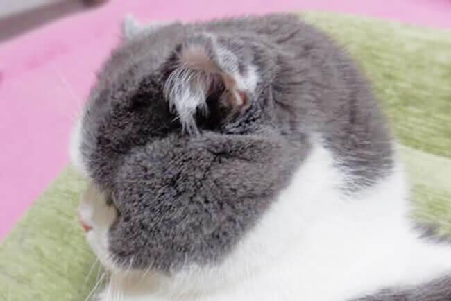 鼻ぺちゃ猫の横顔
