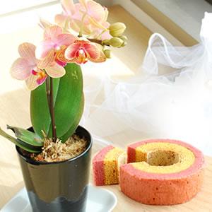 母の日 花種類 胡蝶蘭 オランジュ