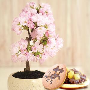 母の日 桜の盆栽と和菓子ギフトセット