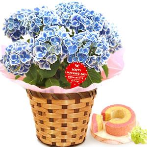 母の日 花の種類 チボリ・青
