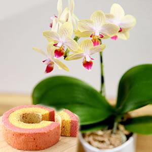 母の日 花種類 ミニ胡蝶蘭 ゴールドベイビー