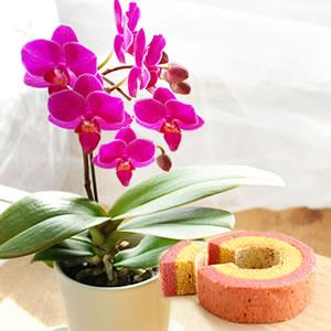 母の日 花種類 胡蝶蘭 キラキラ