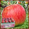 極旨の産直りんご