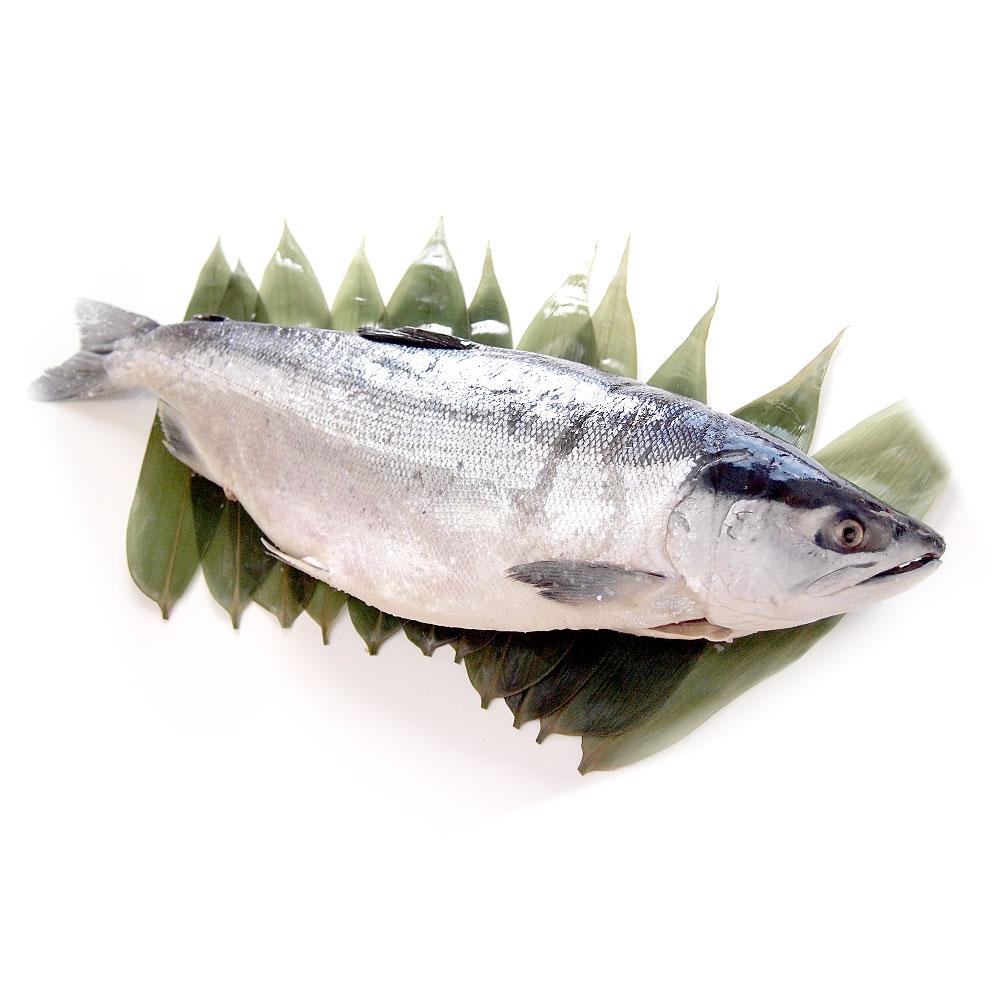 北海道加工 紅鮭 1尾1.6キロ