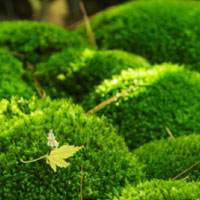 環境適応力が高く、土壌や気候を選ばない人工栽培の苔